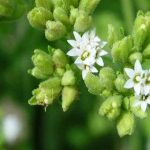 Qué es la stevia