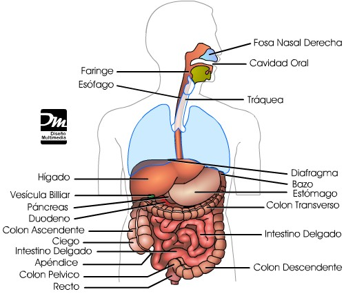digestivo-obesidad-trastornos-enfermedades.jpg